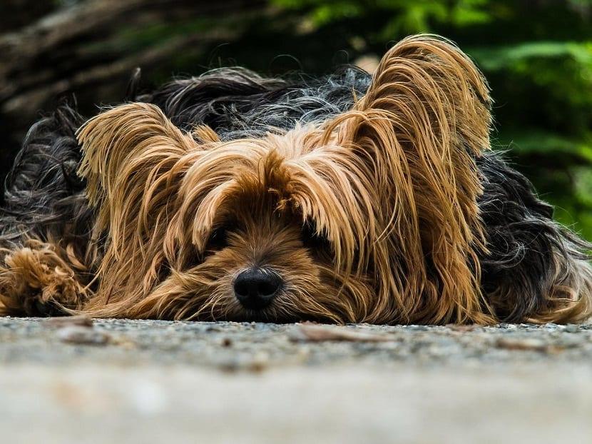 perro con la cabeza en el suelo porque esta enfermo