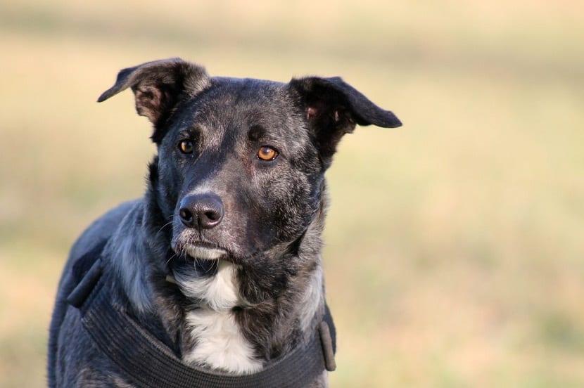 perro de color oscuro con ojos de color marron