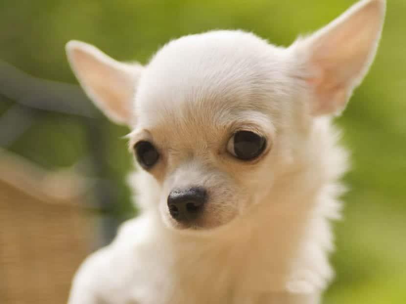 perro de raza pequena con ojos saltones