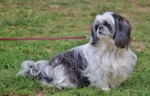 perro de raza pequena de color blanco y negro