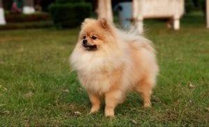 perro de tamano muy pequeno con mucho pelo