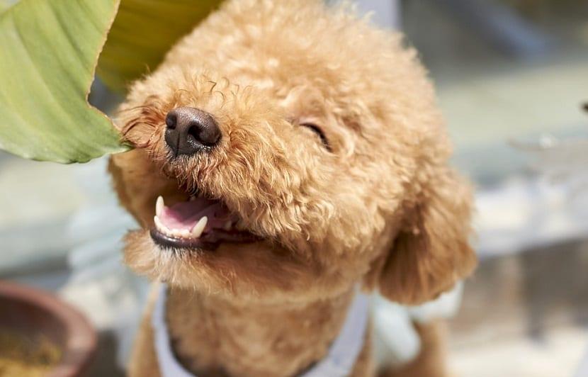 perro de tamano pequeno sonriente