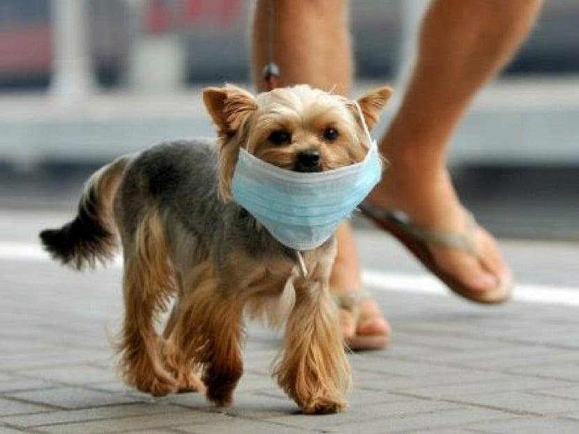 perro pequeno con mascarilla paseando por la calle