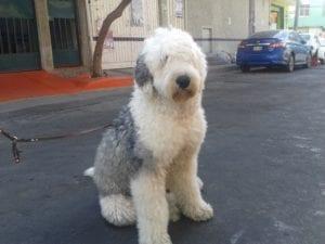 perro sentado de color blanco y grisaceo con mucho pelo