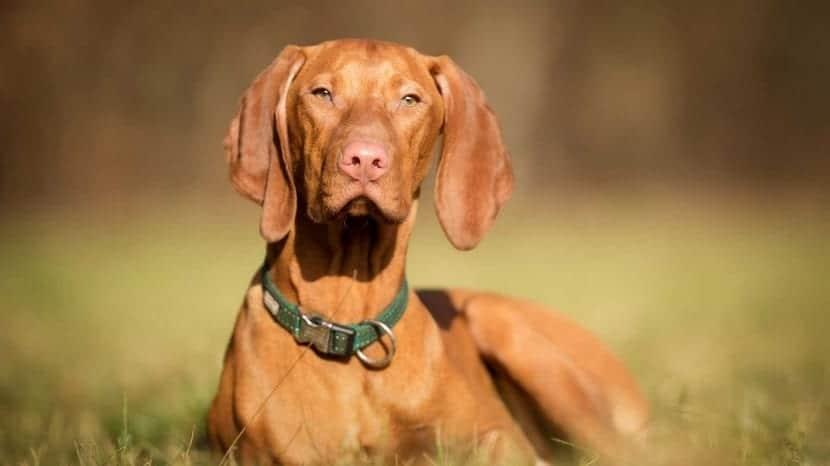 perro sentado de forma elegante y de color marron