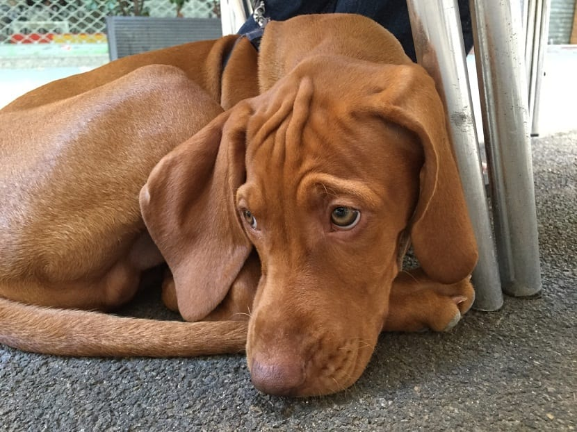 perro triste y acurrucado
