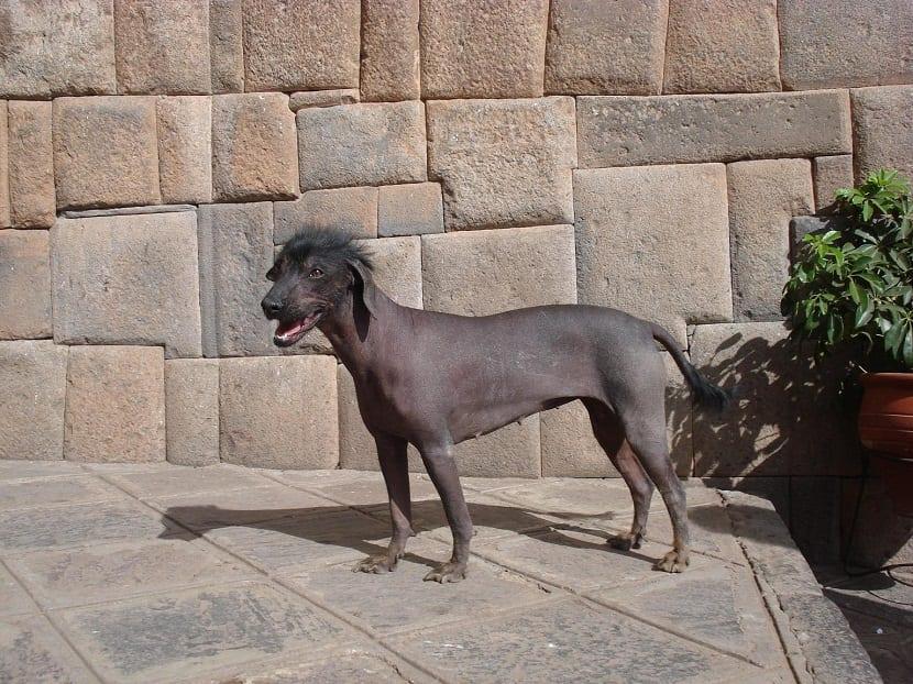 perro sin pelo, solo en cabeza y cola