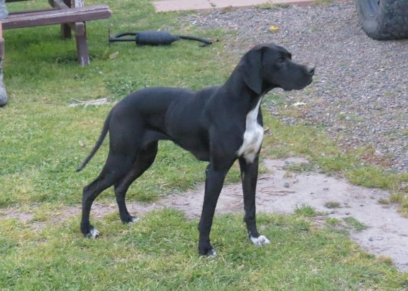 perro completamente negro con el pecho de color blanco