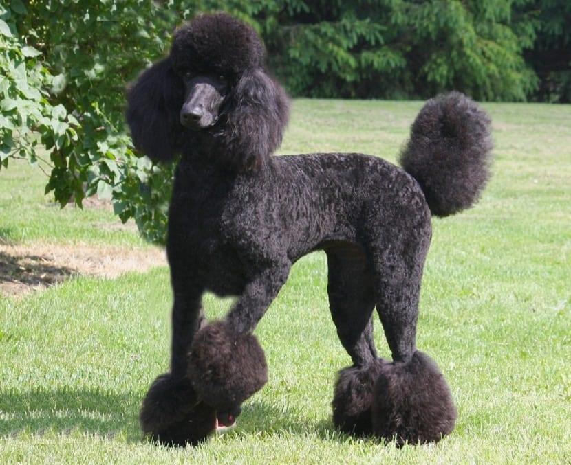 perro de tamano grande de la raza de los caniches