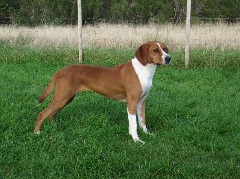 perro de tamano mediano muy elegante