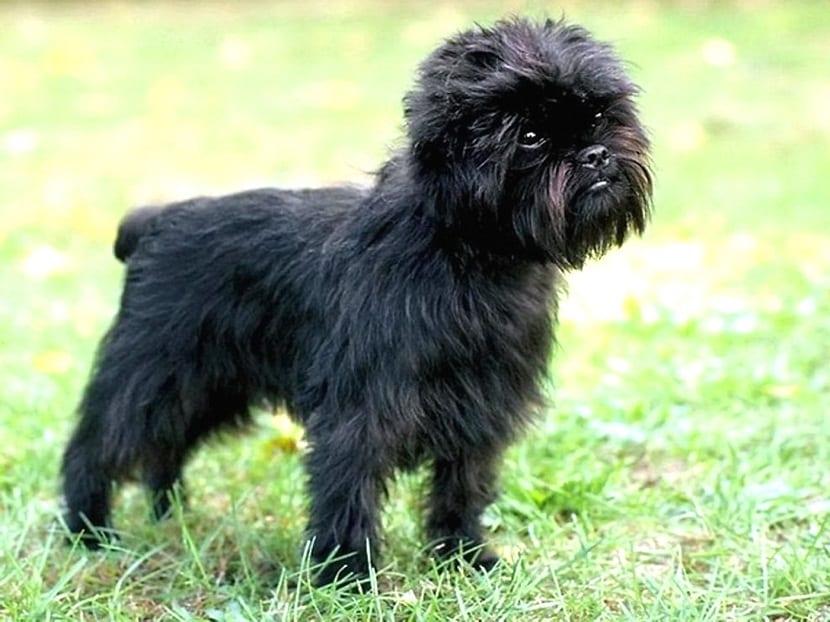 perro de tamano pequeno y con mucho pelo