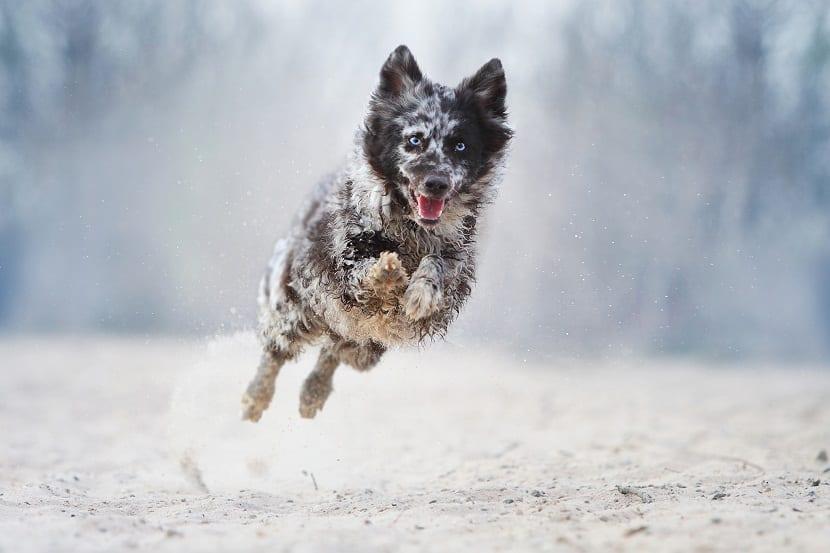 La raza de perro Mudi no es muy popular o conocida por los amantes de mascotas caninas. Sin embargo, estos animales son realmente extraordinarios y dignos representantes de la especie. Los Mudi tienen una estatura mediana y se encuentra equilibrada entre la energía y el reposo, siendo versátiles y diversos y de gran adaptabilidad. El mantenimiento de estas mascotas no exige una gran inversión de tiempo o dinero, su fidelidad es comparada a la de los perros de compañía combinados con la fuerza y valentía del perro de guardia. La raza Mudi no se ha extendido por el mundo, sus límites difícilmente sobrepasan su país de origen, sin embargo esto ha sido bueno para la raza que humildemente tiene mucho que ofrecer. Historia u origen del Mudi La raza Mudi no es sencilla de rastrear, la documentación indica que no fueron creados específicamente por criadores que hayan aplicado las leyes de la genética de Mendel. Simplemente los Mudi aparecieron naturalmente tras mezclas realizadas por pastores húngaros entre las razas Puli, Spitz alemán y Pumi. Considerando estos datos, el Mudi es una raza muy moderna que realmente nació en el siglo XX. Los pastores húngaros solo mezclaron buscando características esenciales en la labor de pastoreo y que fuese una mascota fácil de mantener. El siglo XX fu muy movido para la raza, ya que no solo se creó, sino que alcanzó reconocimiento gracias al Dr. Dezso Fenves que el 1936 lo referencio como una raza autóctona de Hungría. Inmediatamente después estalló la Segunda Guerra Mundial, periodo trágico no solo para los humanos sino para muchas razas caninas y entre esas el Mudi, que casi se extinguió. Los conservacionistas salvaron algunos ejemplares que permitió continuar la raza. A pesar de sus extraordinarias características, el Mudi sigue siendo una raza muy local salvo algunos ejemplares en Finlandia. Siguen trabajando como perros pastores y cada vez más se están ganando un espacio dentro de los hogares. Características El Mudi es un perro con