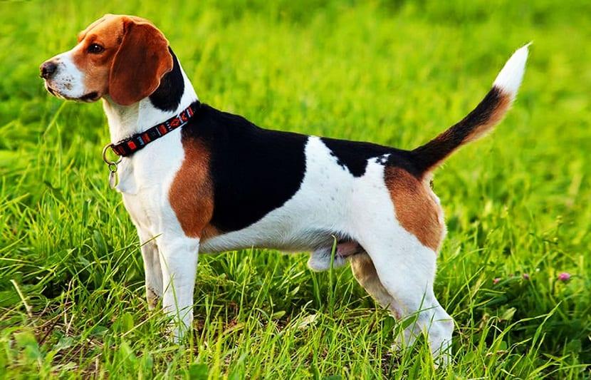 perro en posicion de alerta con la cola en alto