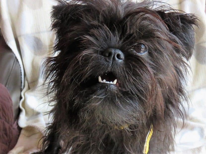 perro pequeno con dientes muy finos