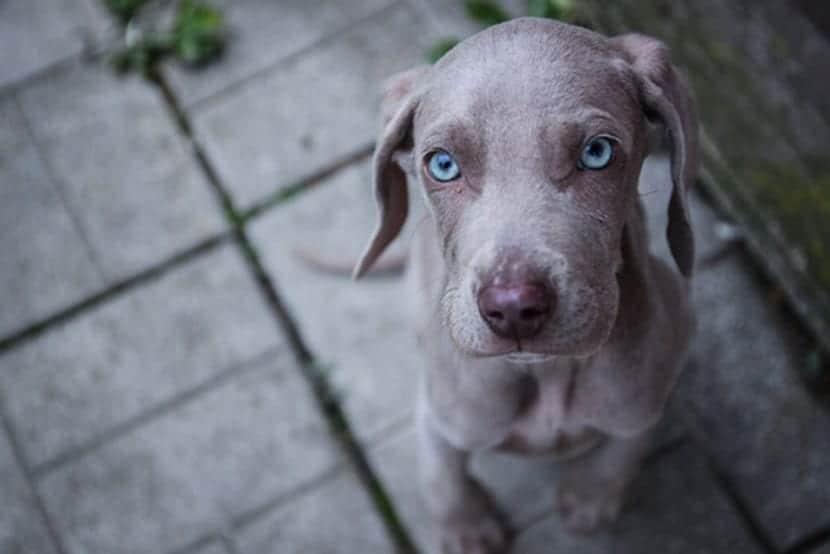 cachorro de perro con ojos azules