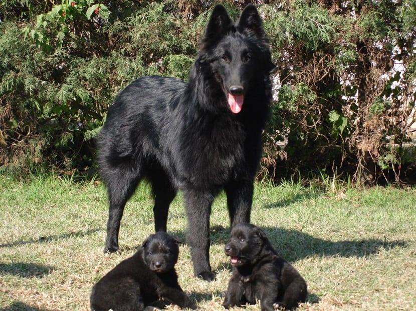 perra de color negro con sus dos cachorros