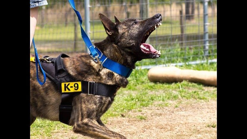 perro de la raza pastor holandes atacando