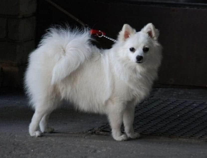 perro de raza pequeno y blanco