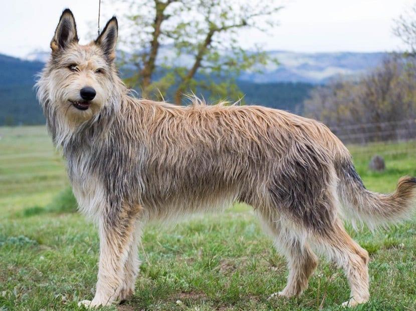 perro de talla mediana y pelaje largo