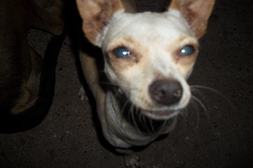 perro de tamano pequeno con enfermedad en los ojos