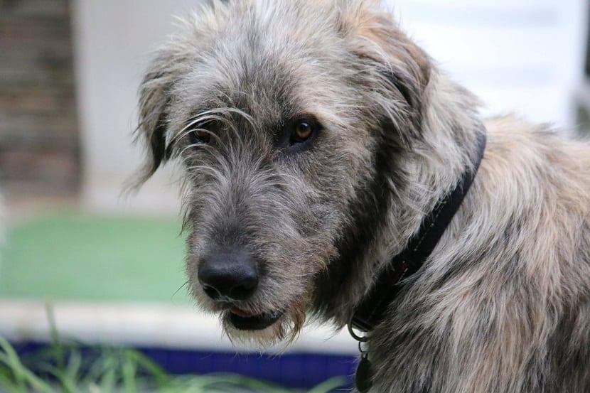 perro de un color grisaceo y con barba