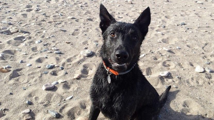 perro en la playa mirando a su dueno
