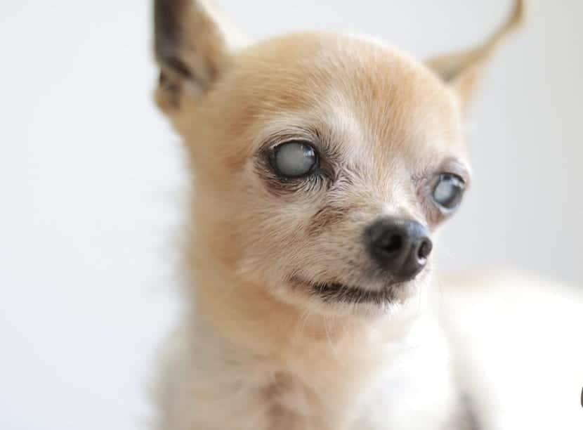 perro mayor con enfermedad ojos