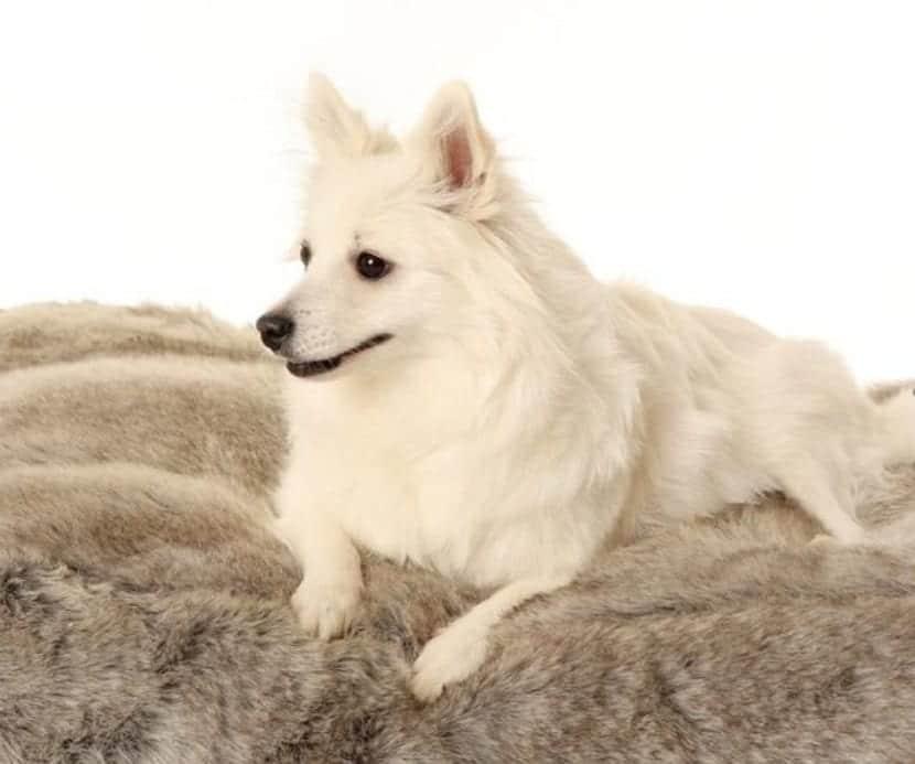 perro totalmente agusto sobre una manta