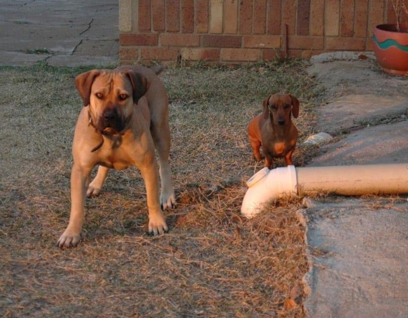 un perro de tamano grande y otro pequeno juntos