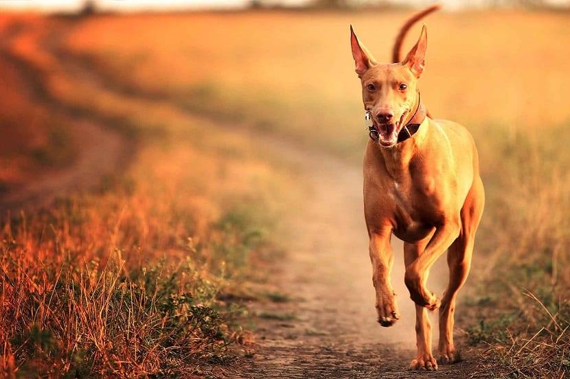 raza de perro Pharaoh hound