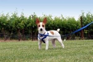 perro de raza pequena sujeto con una correa azul