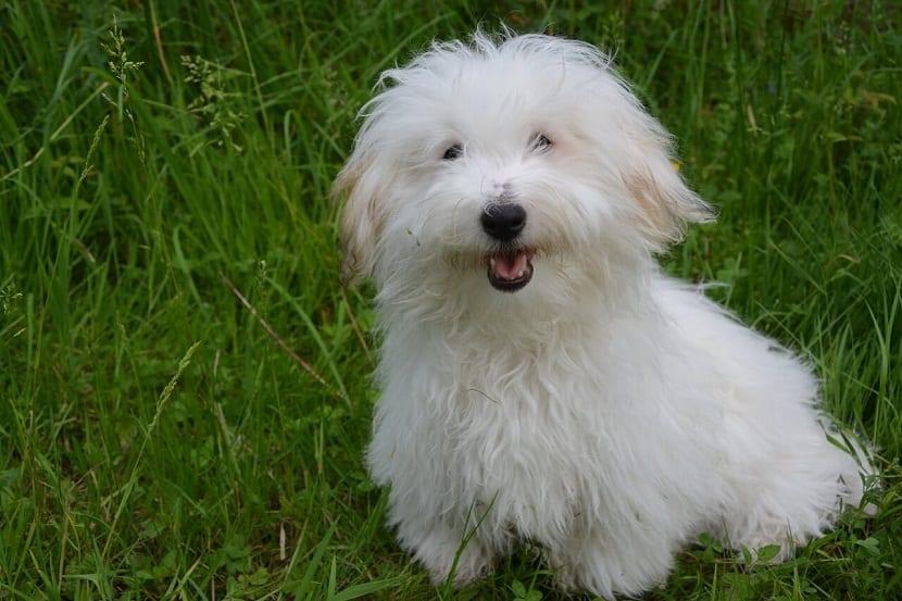 perro de compania llamado Coton de tuléar