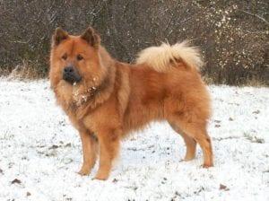 Raza de perro Eurasier