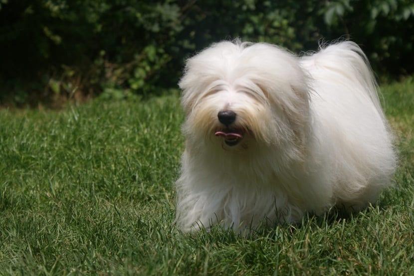 perro de tamano pequeno y pelo largo