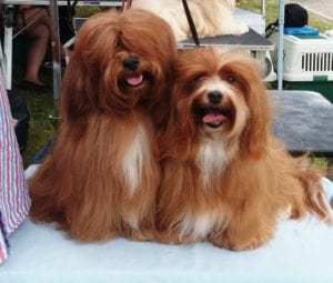 tres perros de raza pequeno y de diferentes colores