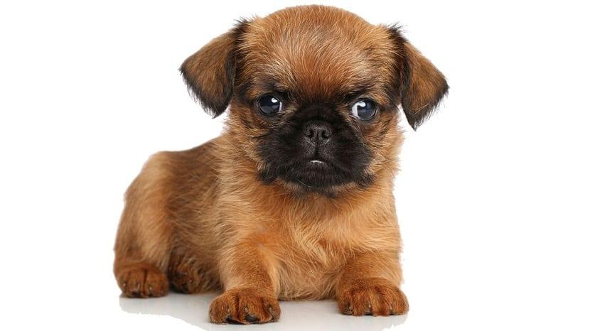 perro de raza pequena y de color marron