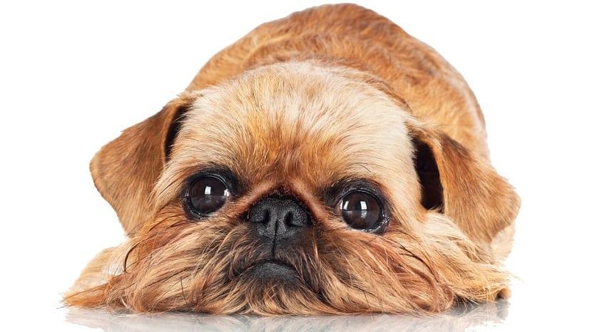 perro con mirada triste y ojos saltones