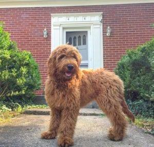 perro de tamano mediano con mucho pelo