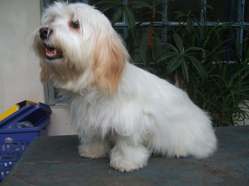 foto de perro de raza bichón cubano o habanero