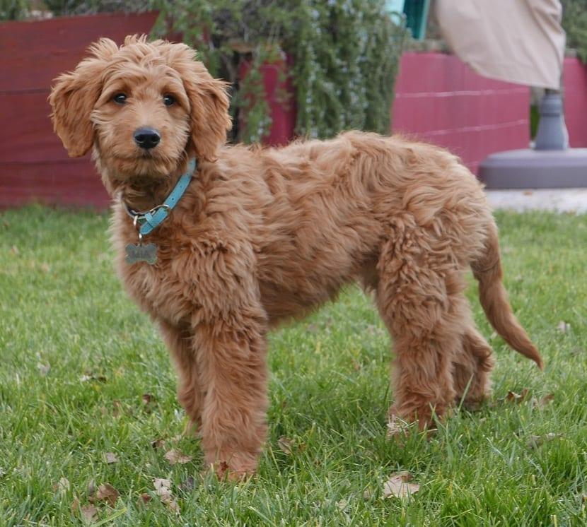 perro marron con color azul
