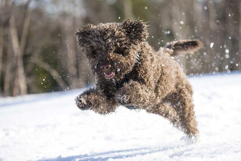 perro marron saltando entre la nieve