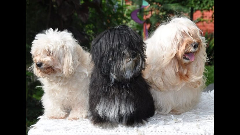 tres perros de raza pequena y de diferentes colores