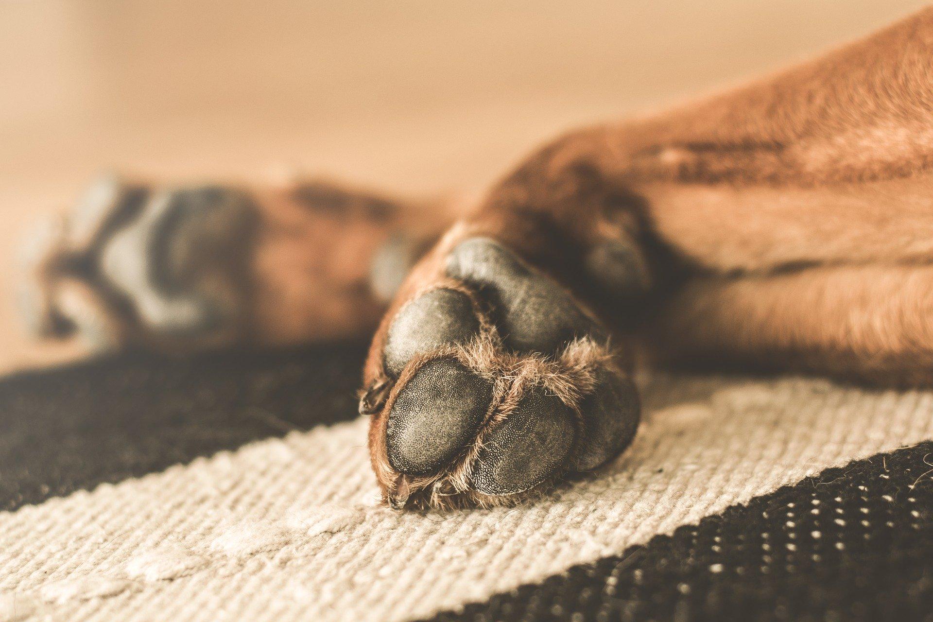 Tu perro puede tener un esguince si cojea