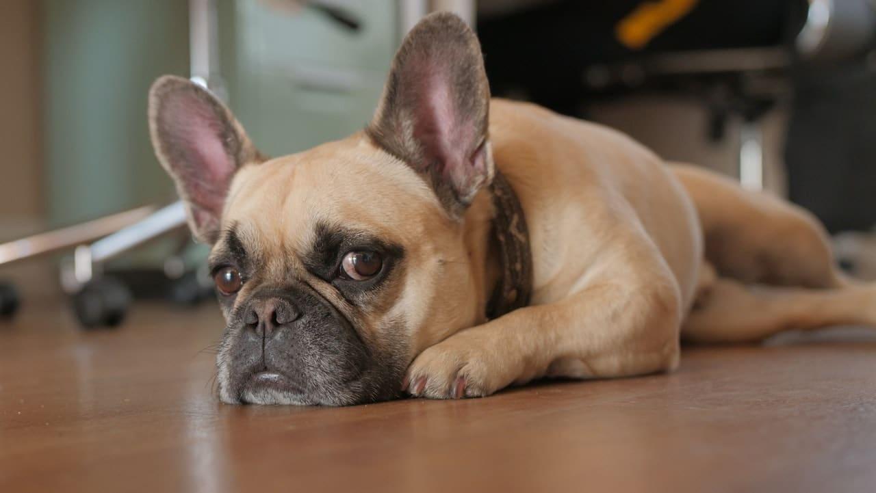 El perro puede temblar por diversos motivos