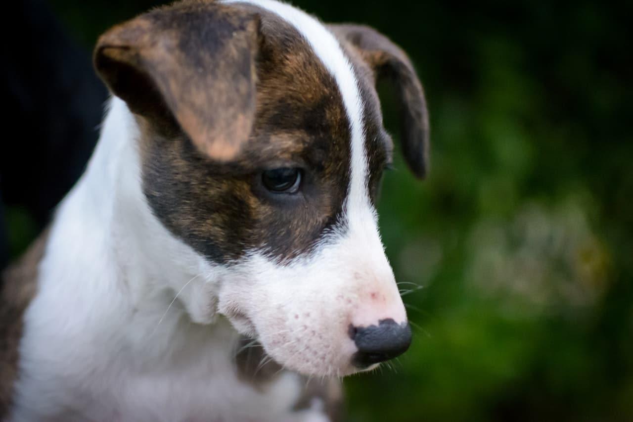 El temblor en perros puede ser síntoma de enfermedad