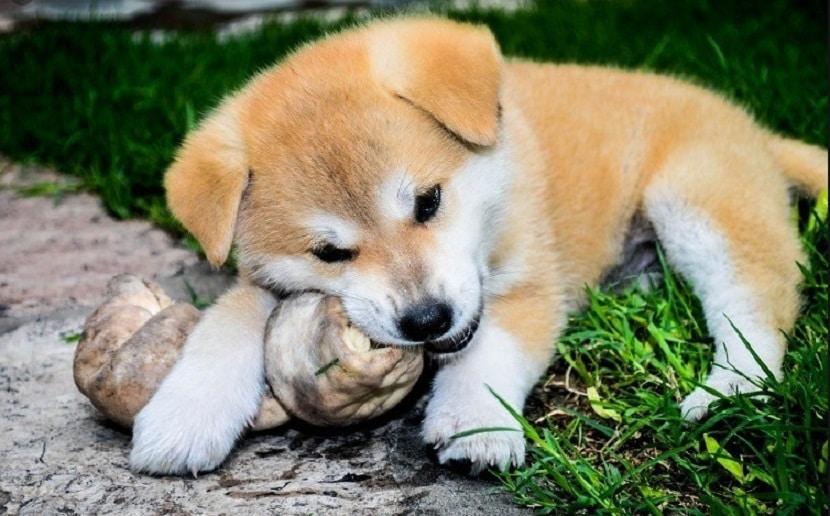 cachorro de color anaranjado jugando con una piedra