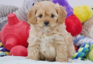 cachorro de color marron rodeado de peluches
