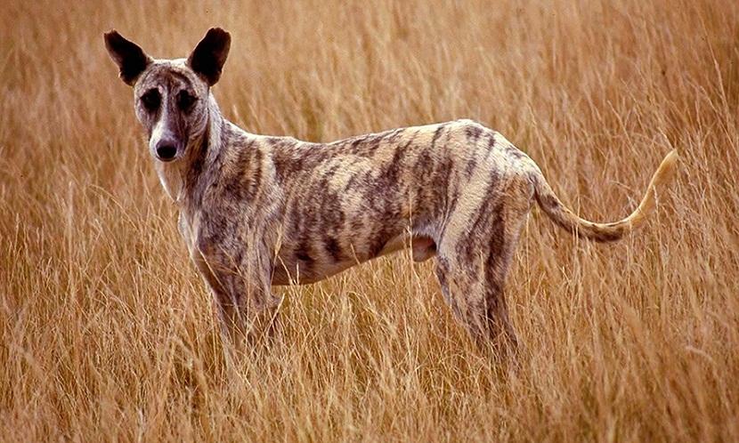 perro llamado Africanis