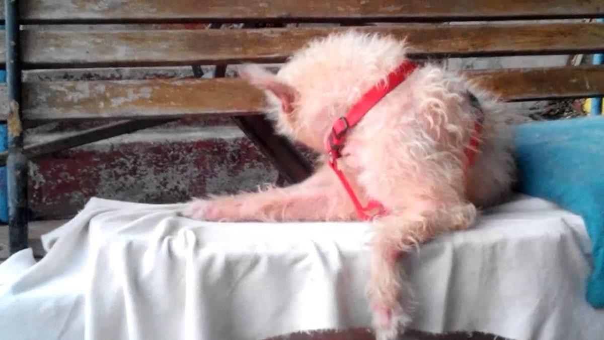 perro blanco con problemas en la piel