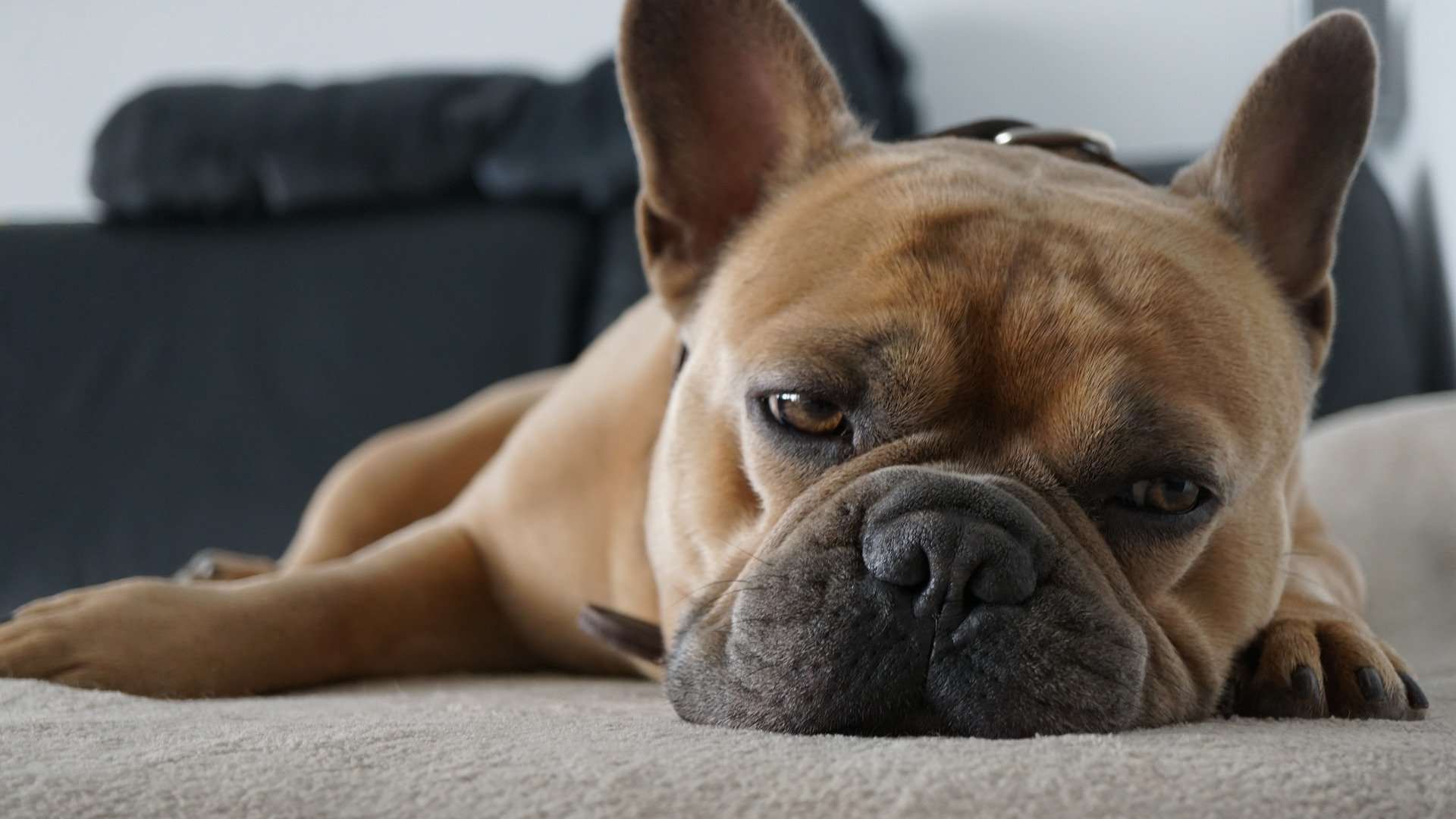 Si tu perro cojea, debes de llevarlo al veterinario